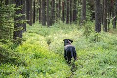 Grand chien marchant dans la forêt Images libres de droits
