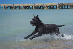 Grand chien noir de Schnauzer en mer Images libres de droits