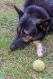 Grand chien noir se reposant à côté de sa boule images stock