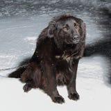 Grand chien noir sur une chaîne Photo stock