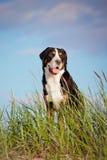 Grand chien suisse de montagne Photos libres de droits
