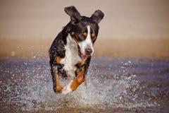 Grand chien suisse de montagne fonctionnant sur la plage Photographie stock libre de droits