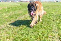 Grand chien sur une herbe verte Photographie stock libre de droits
