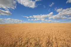 Grand ciel bleu - zones de blé Photographie stock