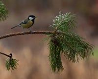 Grand commandant de Parus de mésange sur une branche de pin Photos libres de droits