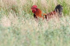 Grand coq se cachant dans l'herbe Images stock
