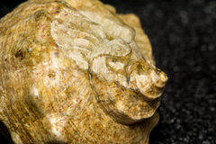 Grand coquillage brun Image libre de droits
