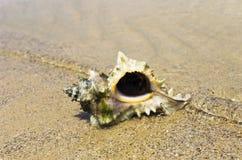 Grand coquillage sur le bord de la mer photographie stock libre de droits