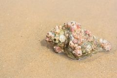 Grand coquillage sur le sable sur la plage Photographie stock libre de droits