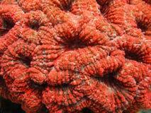 (Grand) corail épineux de fleur, angulosa de Mussa, en mer des Caraïbes Images libres de droits