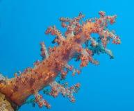 Grand corail mou sur un récif coralien tropical Photographie stock libre de droits