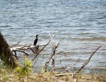 Grand cormoran - l'oiseau de mer de plongée Images libres de droits