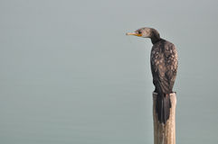 Grand Cormorant (carbo de Phalacrocorax) Photos stock