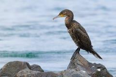 Grand Cormorant - cormoran de carbo de Phalacrocorax grand s?chant son plumage sur le soleil apr?s plong?e pour des poissons dans images stock