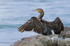 Grand Cormorant - cormoran de carbo de Phalacrocorax grand s?chant son plumage sur le soleil apr?s plong?e pour des poissons dans photographie stock libre de droits