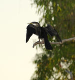 Grand Cormorant séchant ses ailes, parc national de Kakadu, Australi image libre de droits