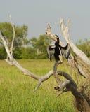 Grand Cormorant séchant ses ailes, parc national de Kakadu, Australi images stock