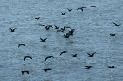 Grand Cormorants. A flock of grand cormorants (Phalacrocorax carbo sinensis) flying above the surface of Lake Nasser near Abu Simbel, Egypt stock images