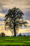 Grand cottonwood tree in a rice field at sunset. Grand cottonwood tree in a rice field with yellow clouds during sunset stock photography