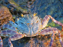 Grand crabe Images stock