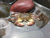 Grand crabe sur la plage photos libres de droits