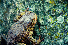 Grand crapaud sur la pierre Photo stock