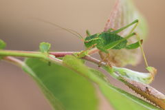 Grand cricket vert de Bush photographie stock