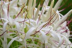 Grand crinum lily crinum asiaticum. Close up of a crinum lily crinum asiaticum in bloom royalty free stock photography