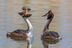 Grand cristatus de Podiceps de grèbe crêté de couples pendant le rituel de accouplement en multipliant le plumage images stock