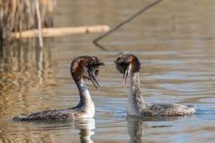 Grand cristatus de Podiceps de grèbe crêté de couples pendant le rituel de accouplement en multipliant le plumage image libre de droits
