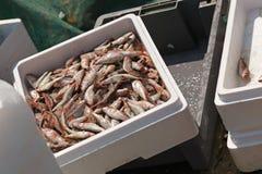 Grand crochet des poissons de mulet dans la boîte sur le bateau de pêche Images libres de droits