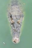 Grand crocodile Photo stock