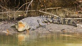 Grand crocodile d'eau de mer Image libre de droits
