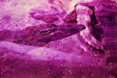 Grand crocodile dans le plan rapproché d'aquarium Lumière et parties du corps roses Image stock
