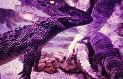Grand crocodile dans le plan rapproché d'aquarium Lumière et parties du corps roses Images stock