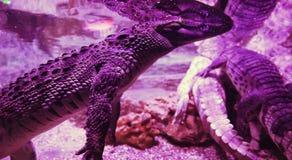 Grand crocodile dans le plan rapproché d'aquarium Lumière et parties du corps roses Photos libres de droits