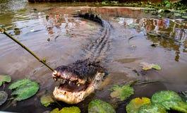 Grand crocodile mangeant d'un bâton Images stock