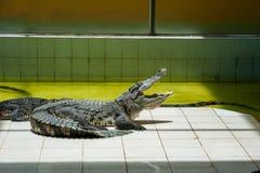 Grand crocodile se dorant au soleil avec sa bouche ouverte photo stock