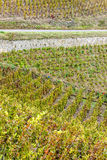 Grand cru vineyard of Cote Rotie Royalty Free Stock Image