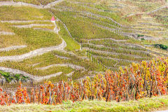 Grand cru vineyard of Cote Rotie. In Rhone-Alpes, France Royalty Free Stock Photography