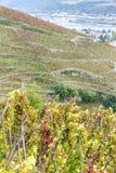 Grand cru vineyard of Cote Rotie Royalty Free Stock Image