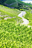 Grand cru vineyards Royalty Free Stock Images