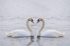 Grand cygne deux blanc sur l'eau photographie stock libre de droits