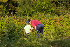 Grand-dad with a grandchild collect a raspberry. On a suburban area in a sunny day Stock Photography