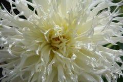 Grand dahlia blanc image libre de droits