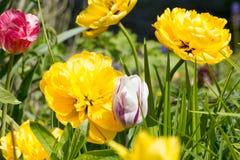 Grand dahlia de fleur en jaune avec des tulipes sur un lit Images stock