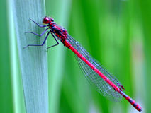 Grand Damselfly rouge (nymphula de Pyrrhosoma) image libre de droits