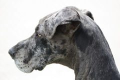 Grand Dane. Isolated Gray Grand Dane Profile royalty free stock image