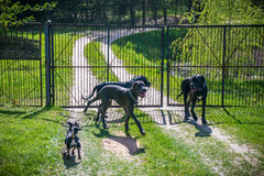 Grand Dane Dogs Photos libres de droits