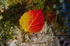 Grand-dent Aspen Leaf, Quetico, Ontario d'automne images libres de droits